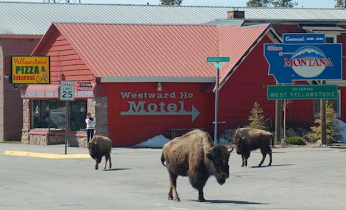 Bison outside our shop