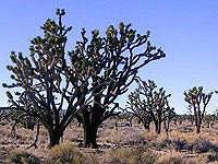 Grand Canyon West Rim Joshua trees