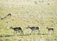 Delicate pronghorn in the Lamar Valley on a Yellowstone tour.
