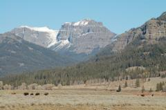 Buffalo in Yellowstone's Lamar Valley