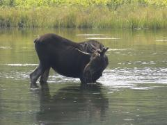 A moose in a Yellowstone river.