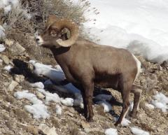 A big horn sheep in the winter in Yellowstone National Park.