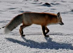 Yellowstone-winter-fox-tours
