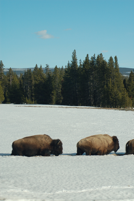 Yellowstone winter buffalo