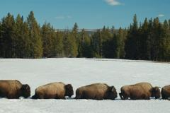 Yellowstone bison in the winter by snowmobile