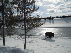 Yellowstone in the winter!
